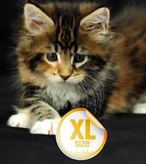 PartoXL Cat
